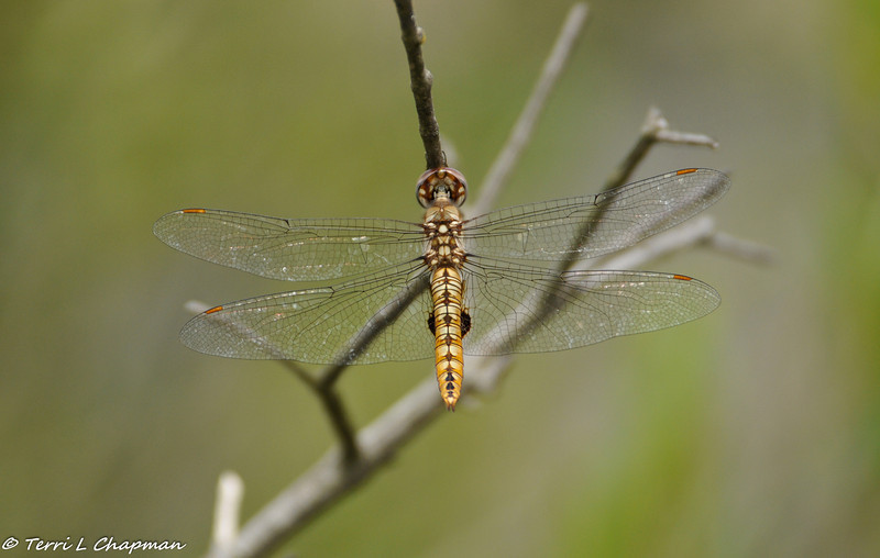 A Spot-winged Glider Dragonfly