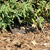 A Southern Pacific Rattlesnake resting underneath a Nevin's Barberry bush