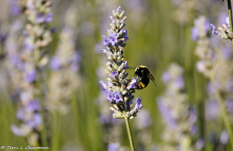 A Bumble Bee in a field of Lavender
