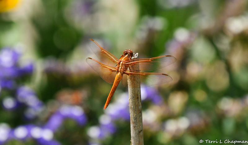 A Flame Skipper Dragonfly