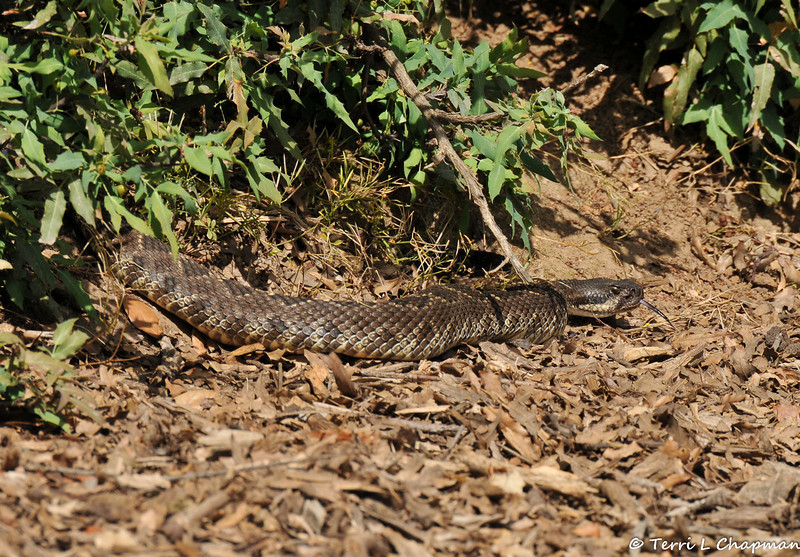 A Southern Pacific Rattlesnake coming out of a Nevin's Barberry bush