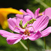An adult female Praying Mantis laying in wait on a Cosmos flower.  The Praying Mantis is named for its prominent front legs, which are bent and held together at an angle that suggests the position of prayer.   It can stand motionless on a flower, leaf or branch for minutes, sometimes even hours, patiently waiting for prey. They use their front legs to snare their prey, such as moths, crickets,  grasshoppers, flies, and other insects.