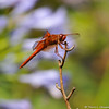 A Red Skimmer Dragonfly with colorful Agapanthus flowers in the background