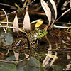 An American Bullfrog in its pond