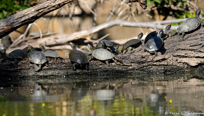 Red Slider Turtles sunning themselves on a fallen tree