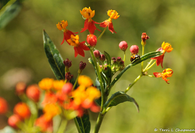 A multicolored Asian Ladybug on Milkweed