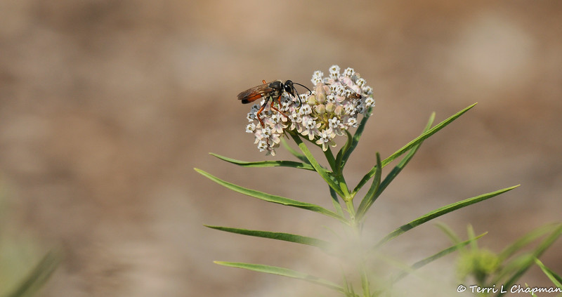 A Great Golden Digger Wasp sipping nectar from a native Milkweed bloom