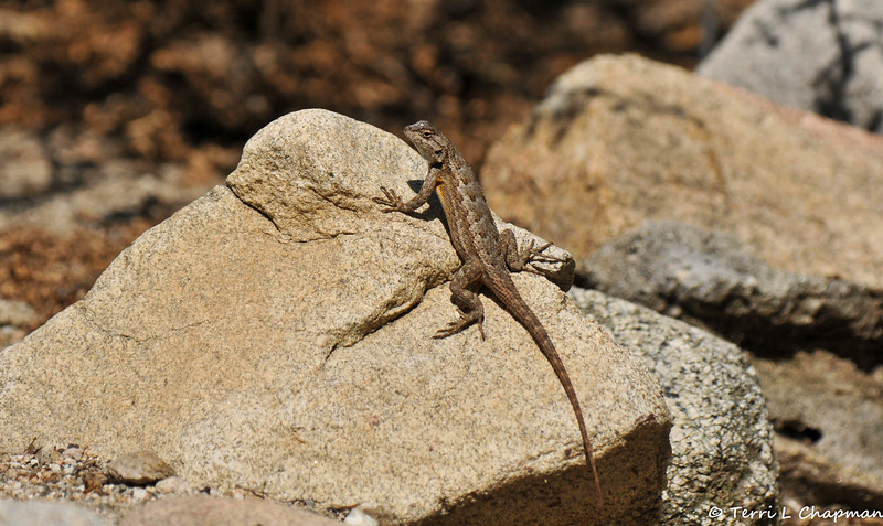 A Fence Lizard basking in the sun