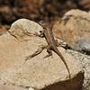 A Western Fence Lizard basking in the sun