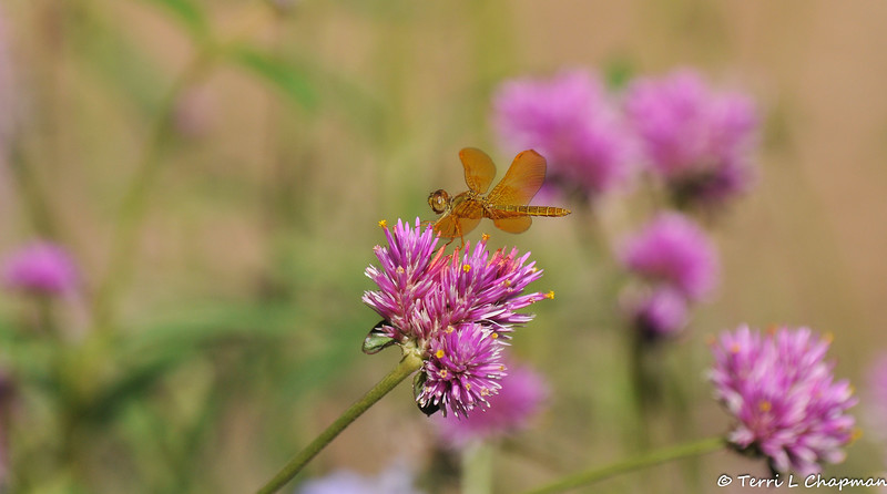 A Mexican Amberwing (Perithemis intensa) Dragonfly on a globe amaranth bloom. This dragonfly is native to the southwestern United States and Mexico.
