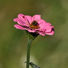 A Honey Bee pollinating a cosmos flower