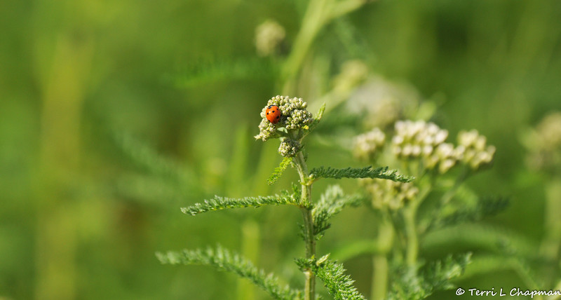 A Seven spotted Ladybug on Yarrow