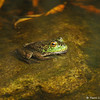 An American Bullfrog in his pond