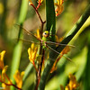 A Green Darner Dragonfly (female)