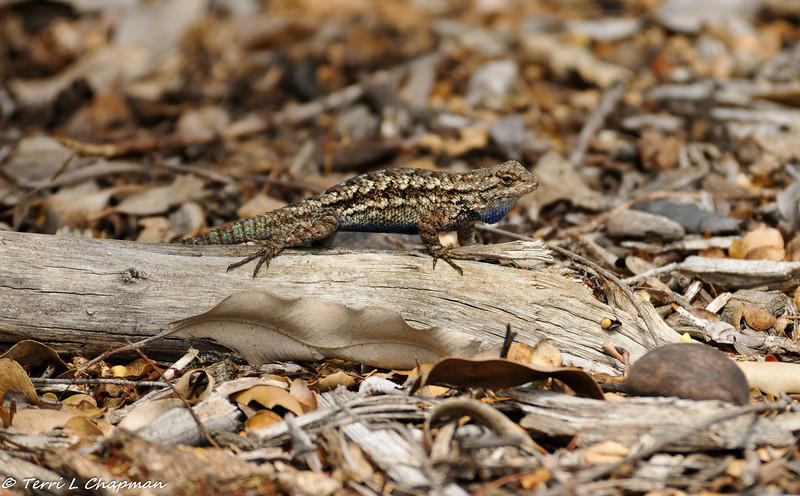 A male Western Fence Lizard in a threatening pose