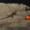 A beautiful Western Fence Lizard with a small colorful piece of fruit resting nearby.
