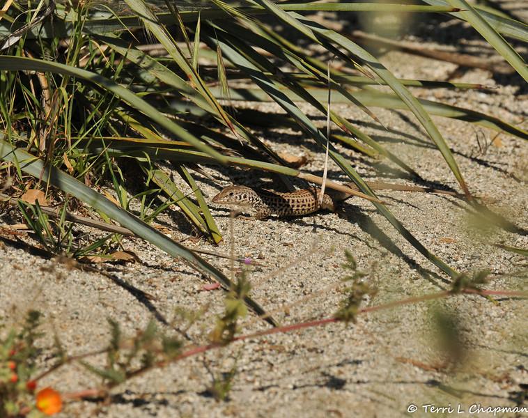 A Whiptail Lizard