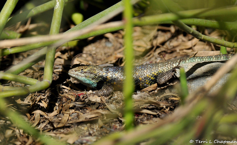 A large Spiny Lizard photographed in Palm Desert, CA
