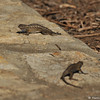 Two male Western Fence Lizards squaring off
