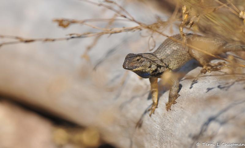 A beautiful male Western Fence Lizard