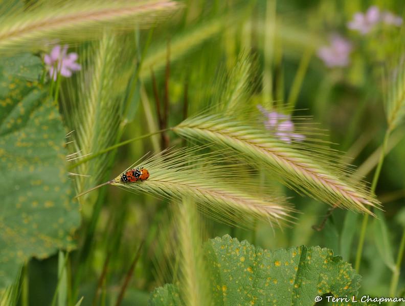 A breeding pair of Convergent Ladybugs