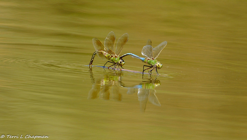 "A male and female Green Darner Dragonflies ""pre""-mating - they are balanced on a stick floating in the lake"