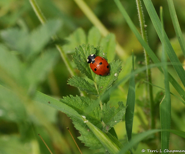 A Seven-spotted Ladybug photographed in my front yard