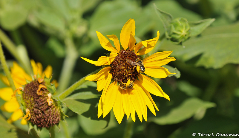 Long Horned Bees on a Sunflower