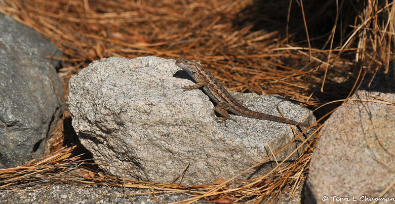 A Fence Lizard