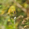 A female Yellow Garden Spider wrapping a Honey Bee she caught in her web