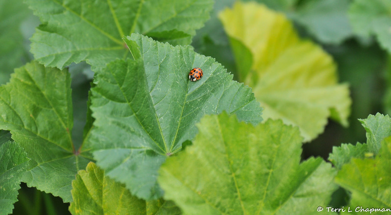 A Multicolored Asian Ladybug on Cheeseweed