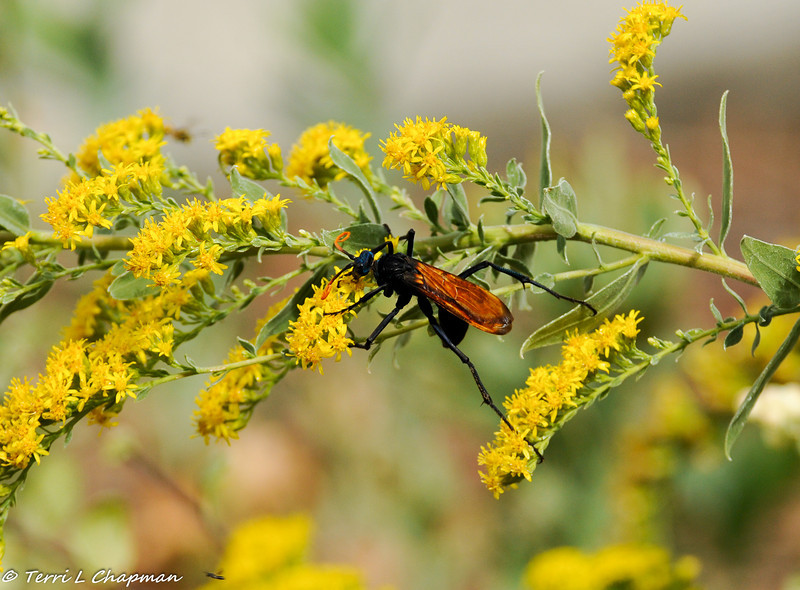 A Tarantula Hawk is a type of spider wasp which hunts tarantulas as food for its larvae.Tarantula hawk stings are considered to be the most painful of any North American insect.
