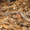A Whiptail Lizard in search of food