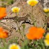 A Fence Lizard among wildflowers