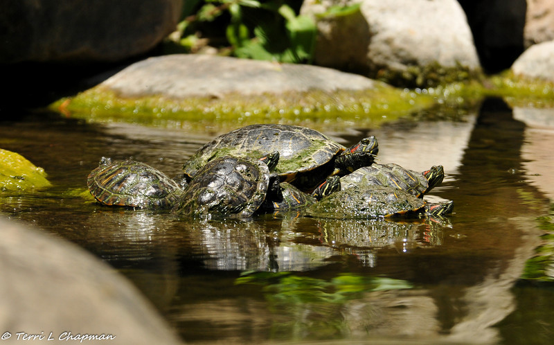 The bigger the Red-earred Slider turtle, the best basking spot is given!