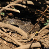 A Western Rattlesnake sunning itself under a Nevin's Barberry bush