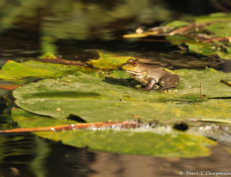 An American Bullfrog on his lily pad