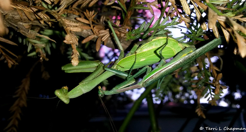 A mating pair of Praying Mantis on a Redwood Tree
