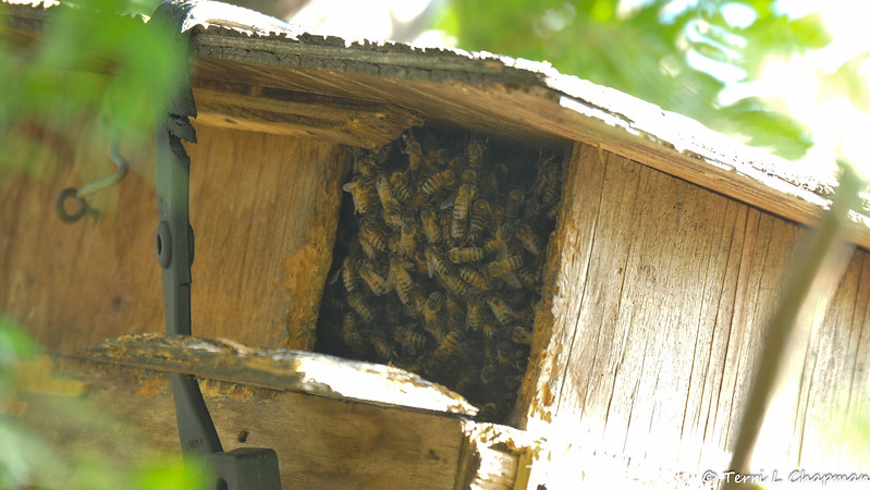 Honey Bees took over my Squirrel nest box in the summer of 2017. I was thrilled to have them in my yard and watch them create honey!