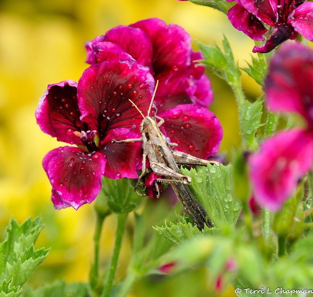 A Vagrant Grasshopper that had flown onto this Geranium bloom after the sprinklers got it wet
