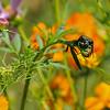 A Japanese Beetle