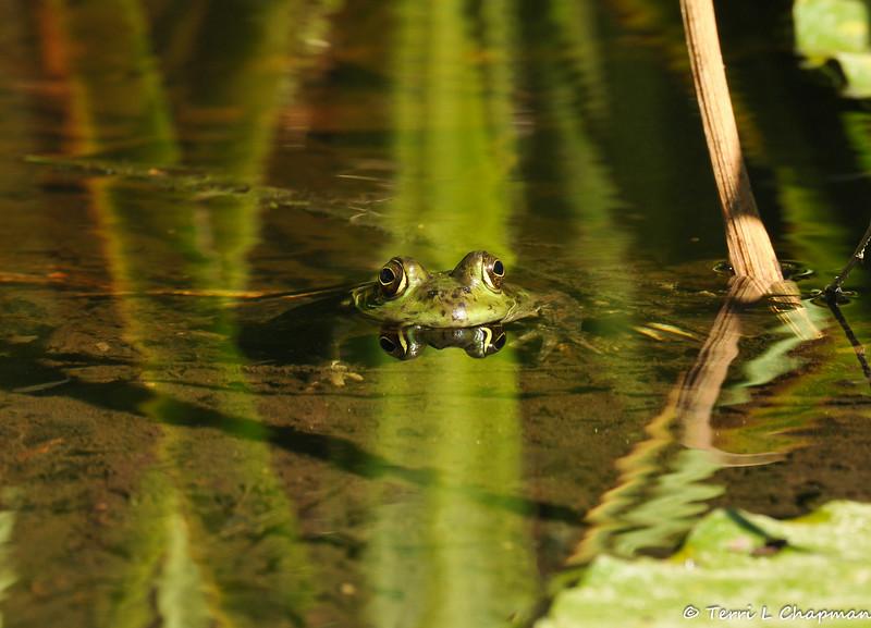 An American Bullfrog