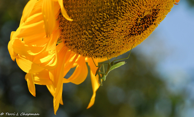 A Praying Mantis on a sunflower