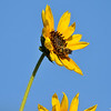 A Long Horned Bee on a Sunflower
