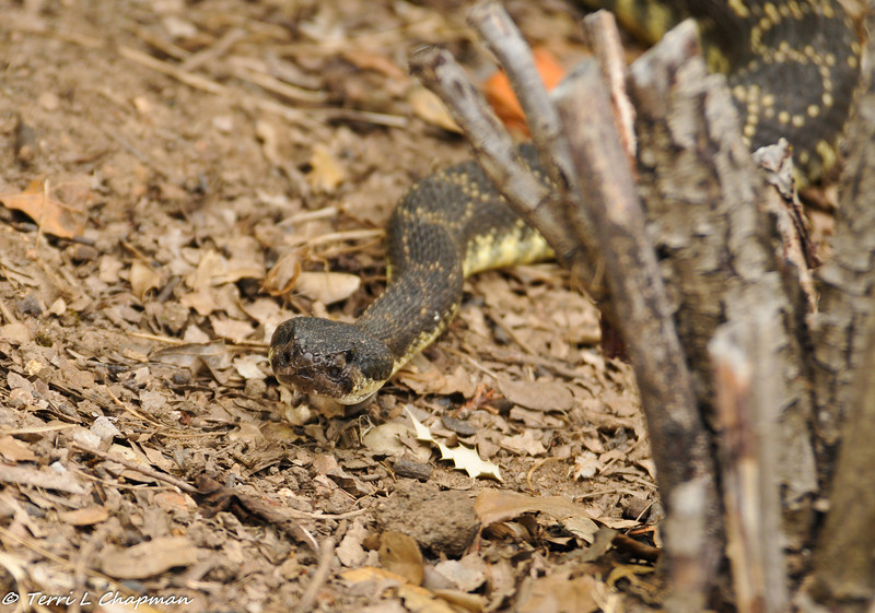 A Southern Pacific Rattlesnake was slithering towards me as I was photographing a family of ground squirrels. I had no idea he was behind me until the squirrels started sounding the alarm and this snake was no more than 3 feet from me!