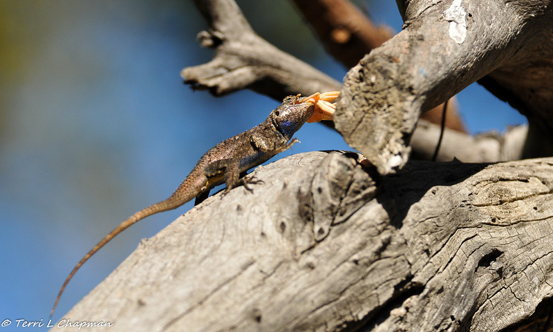 A Western Fence Lizard eating a grasshopper