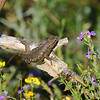 A Western Fence Lizard trying to catch a nearby grasshopper