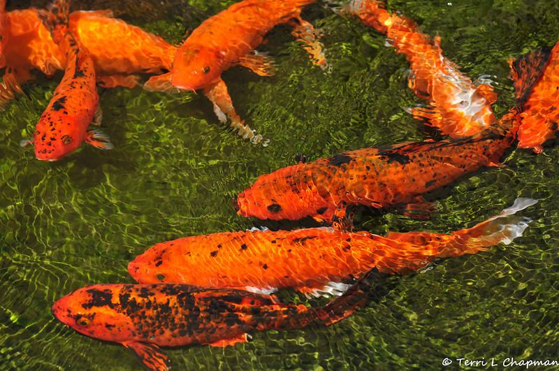Beautiful Koi swimming in a pond