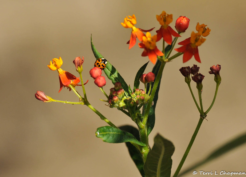 A multicolored Asian Ladybug on Milkweed