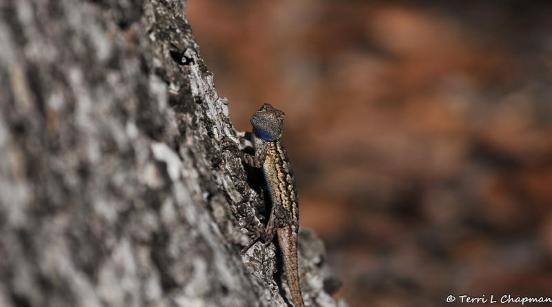 A beautiful male Western Fence Lizard preparing to climb a tree trunk.